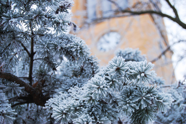 Winter frost on Evergreen