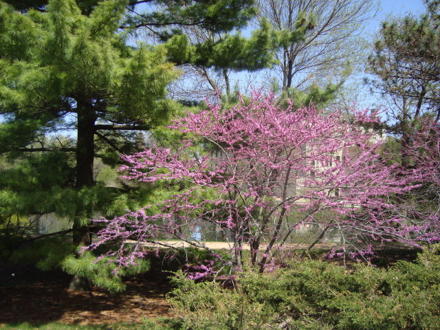 Redbud at Lake LaVerne