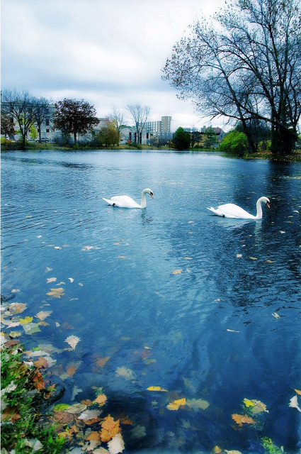 Swans on Lake LaVerne