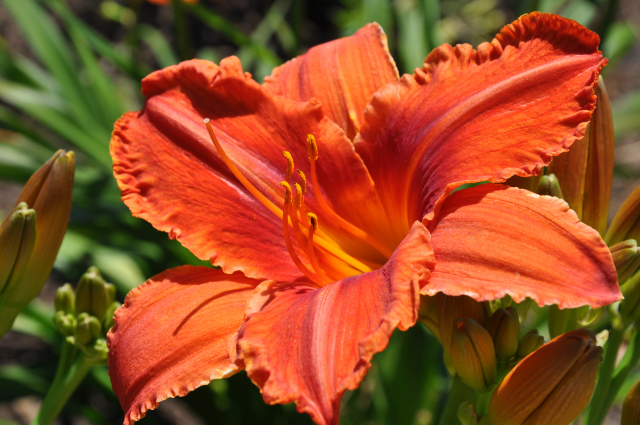 Daylily at Reiman Gardens