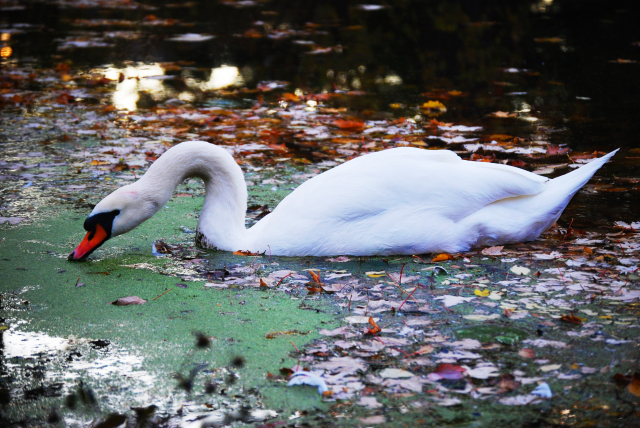 Swan swimming through the moss