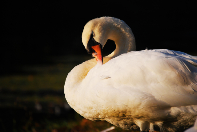 Swan in the sunlight