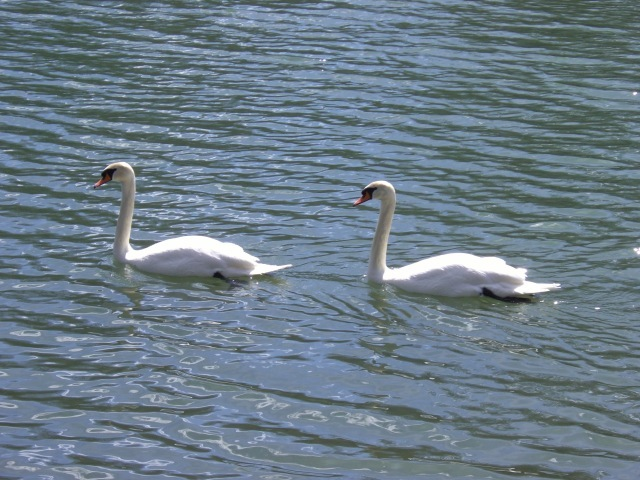 Swans in Sync