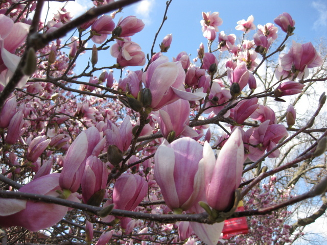 Magnolias at Lago