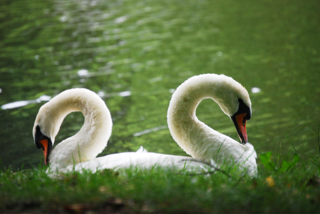 Two-headed Swan