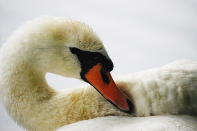 Close up of Swan