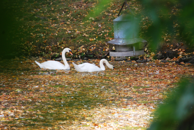 Swans swimming in a sea of leaves