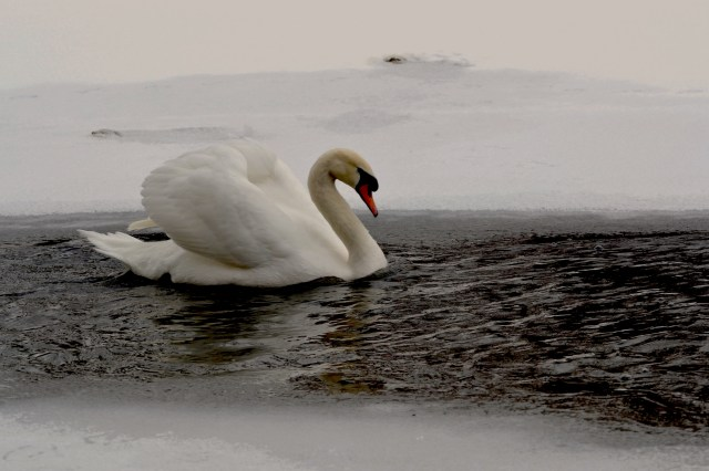 Aren't you cold, swan?