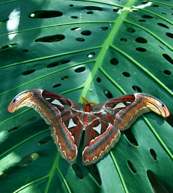 Moth in the Attacus