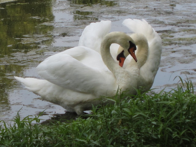 Swan's Heart at Lake Laverne