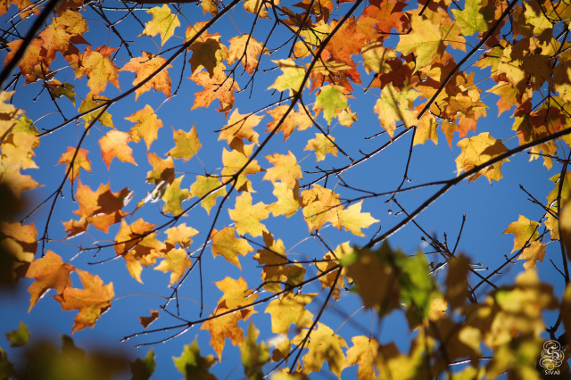 Leaves @ Campus Trees