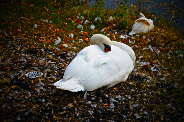 The Resting Swans