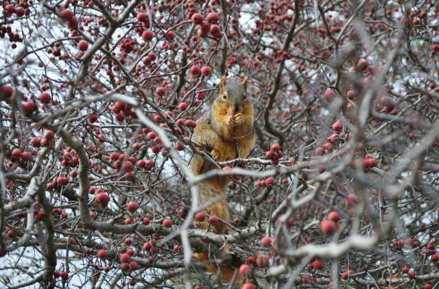 Berry Hungry Squirrel