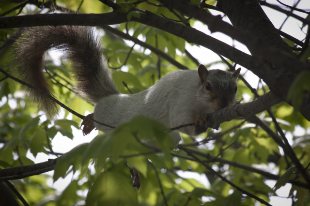 ISU's White Squirrel