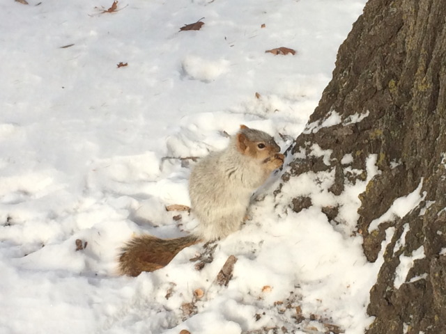famous white squirrel