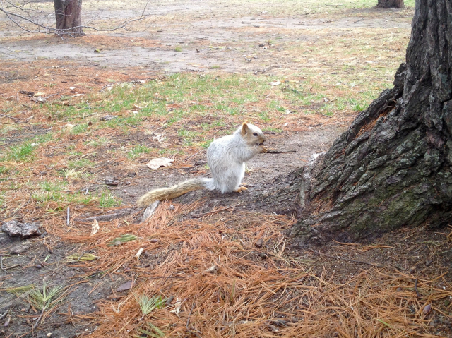 ISU White Squirrel enjoying lunch!