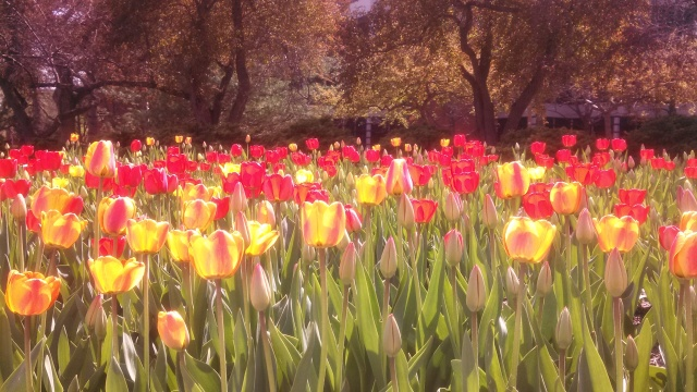 Spring tulips in full bloom.