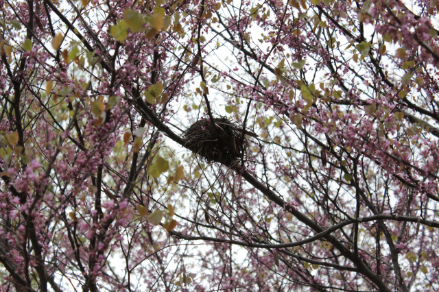 Nest in the redbuds