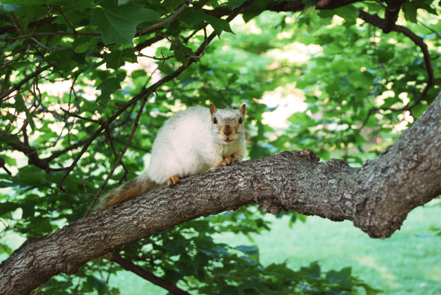 The Famous White Squirrel