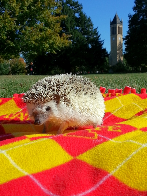 Hedgehog with the Campanile!