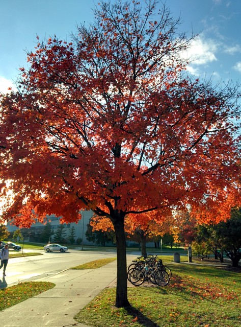 Red tree in front of Armory/Osborn
