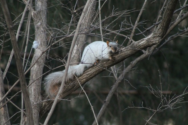 The 'Albino' Squirrel