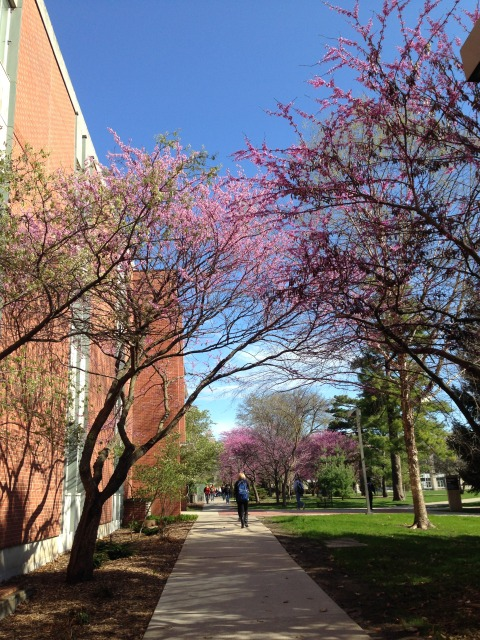 Redbud in the campus