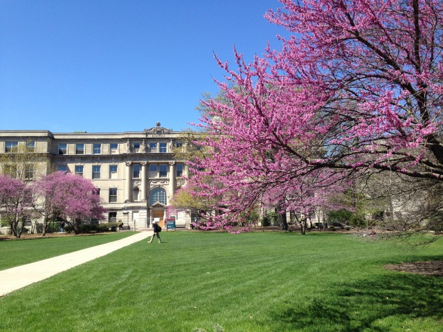 Redbud tree in the campus1