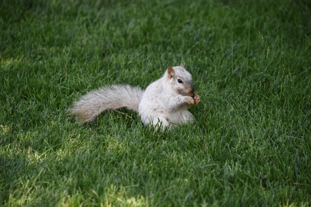 Lunch for the ISU Leucistic squirrel