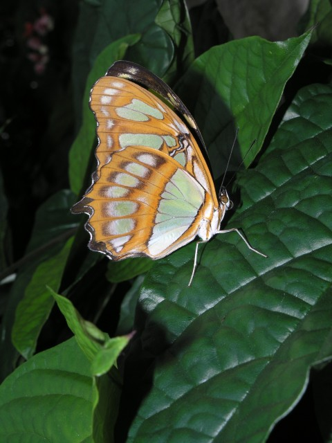 Siproeta stelenes in the Christina Reiman Butterfly Wing at Reiman Gardens