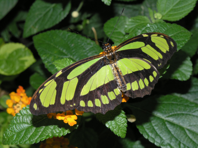 Philaethra dido in the Christina Reiman Butterfly Wing at Reiman Gardens