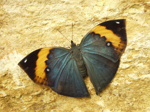 Kallima inachus In the Christina Reiman Butterfly Wing at Reiman Gardens