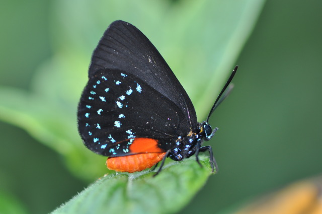 Eumaeus atala in the Christina Reiman Butterfly Wing at Reiman Gardens
