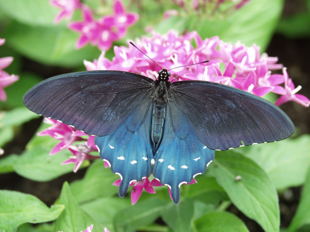 Battus philenor in the Christina Reiman Butterfly Wing at Reiman Gardens