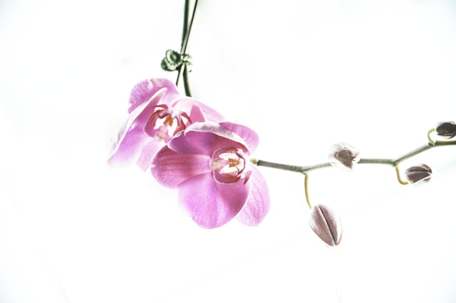 The Upside Down Orchid.