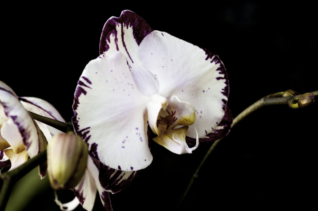 Purple Orchid. The significant one.