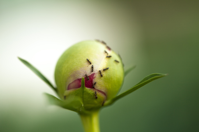 The ants also are waiting for Paeonia spp to bloom!