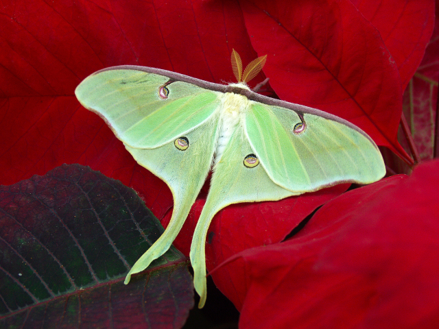Actias luna in the Christina Reiman Butterfly Wing