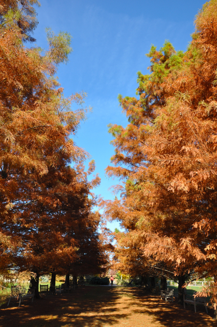Bald Cypress Allee late fall