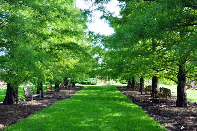 Bald Cypress Allee summer