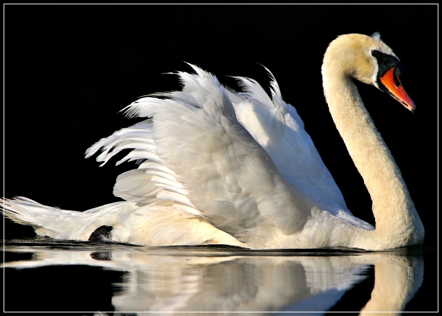Swan bathed in morning sunlight
